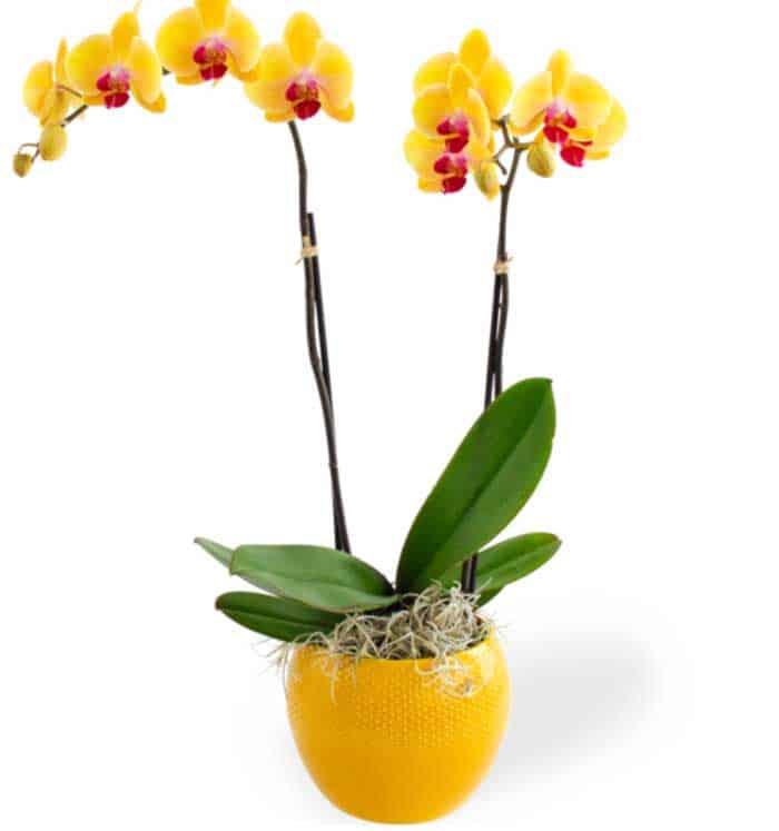 Orchidee Cadeau Sarah Abraham