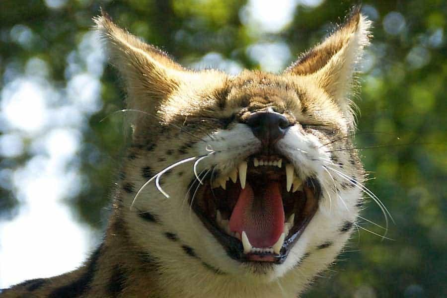 Lynx Dierentuin Rondleiding